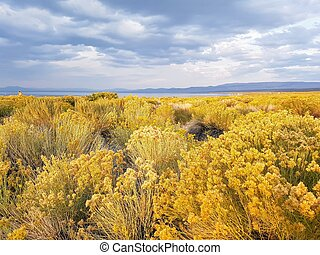 Yellow flowering bushes in California landscape