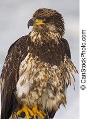 Young Alaskan Bald Eagle, Haliaeetus leucocephalus