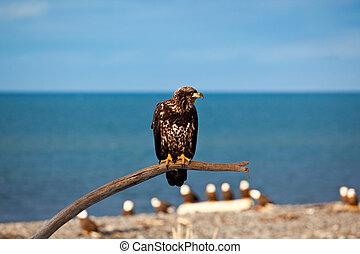 Young American Bald Eagle