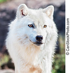 Young Arctic Wolf Close-Up