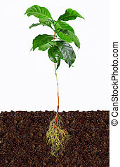 young coffee plant with exposed roots in soil