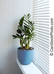 Zamioculcas Zamiifolia a plant in a blue flower pot stands on the windowsill near the window with blinds. Modern indoor plants, minimal creative home decor concept.