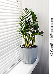 Zamioculcas Zamiifolia a plant in a gray flower pot stands on the windowsill near the window with blinds. Modern indoor plants, minimal creative home decor concept.