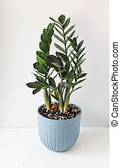 Zamioculcas Zamiifolia plant in blue flower pot stand white surface on a light background. Modern houseplants with Zamioculcas plant, minimal creative home decor concept.